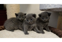 Blue Kittens For Sale : Pets cats for sale russian blue kittens for sale bhd