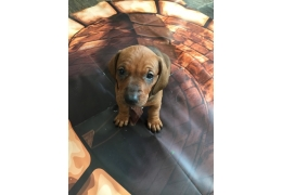 Pets Dogs for Sale - Registered Dachshund Puppies For Sale, BHD 350