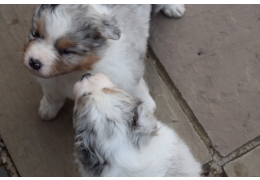 Pets Dogs for Sale - cute and cuddly Australian Shepherd puppies for