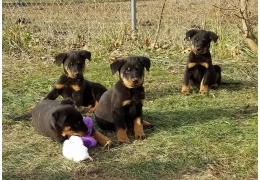 Pets Dogs For Sale Akc Beauceron Pups For Sale Bhd 50