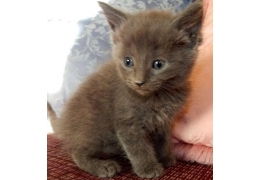 Blue Kittens For Sale : Pets cats for sale pure pedigree russian blue kittens for sale bhd 1