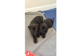 Pets Dogs For Sale Cane Corso Puppies For Adoption Bhd 100