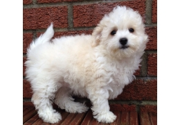 Pets Dogs for Sale - Two Healthy Bichon Frise Puppies