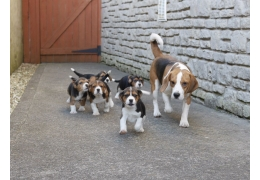Pets Dogs for Sale - Beagle Puppies for Adoption, BHD 1