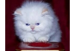 Pets Cats for Sale - Adorable Teacup Persian kittens for