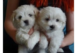 Pets Dogs for Sale - Outstanding White Maltese puppies for