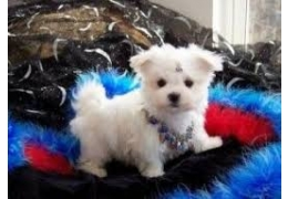 Pets Dogs for Sale - Teacup Maltese puppies for sale, BHD 90