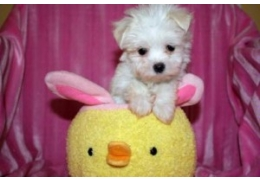 Pets Dogs for Sale - Registered Teacup Maltese Puppies for sale, BHD 90