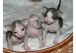 Pets Cats for Sale - Cute Sphynx Kittens for sale, BHD 1