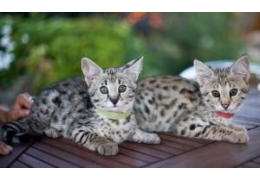 Pets Dogs for Sale - F1 Savannah and Serval Kittens for sale