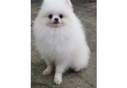 Pets Dogs for Sale - Charming Teacup Pomeranian Puppies for Sale