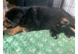 Pets Dogs for Sale - Tibetan Mastiff Puppies For Sale, BHD 1