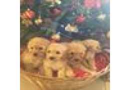 Pets Dogs for Sale - F1b Cockapoo Puppies Pra Clear, BHD 1