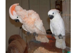 Pets birds for Sale - Umbrella Cockatoo for sale, BHD 40