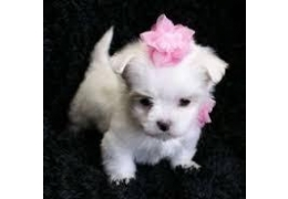 Pets Dogs for Sale - Well Socialized Teacup Maltese Puppies for sale