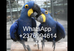 Pets birds for Sale - Hyacinth Macaws for sale whatsapp +