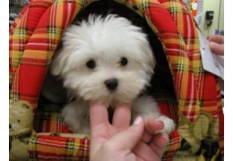 Pets Dogs for Sale - Healthy male and female Tiny White