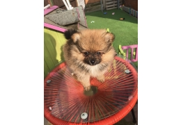 Pets Dogs for Sale - Kc Registered Pomeranian Puppies for